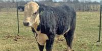 1 Reg. Black Hereford Bull... Northwest AR