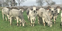 20 Brahman Rep. Heifers... East TX