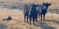 25 Angus 1st-Calf Heifers w/ 3+ Calves... North TX
