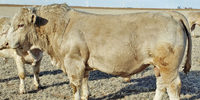 70 Reg. Charolais Bulls... E. Central NM