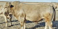 70 Reg. Charolais Bulls... E. Central NM