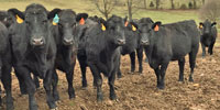 15 Reg. Balancer Rep. Heifers... Central KY