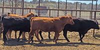 50 Akaushi & Angus Bred Heifers... Central TX