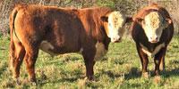 2 Reg. Polled Hereford Bulls... Western TN