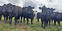 61 Angus & SimAngus Cross Bred Heifers... Northern NC