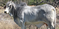 1 Reg. Brahman Bull... Central TX
