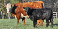 4 Hereford 1st-Calf Pairs... Central TX