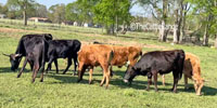 40 Corriente Bred Heifers... East TX