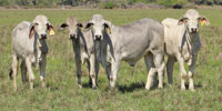 14 Purebred Brahman Rep. Heifers... S. Central TX