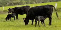 10 Angus 1st-Calf Heifers w/ 7+ Calves... S. Central TX