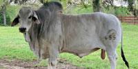 2 Reg. Brahman Bulls... East TX