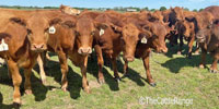25 Red Angus Bred Heifers... N. Central TX