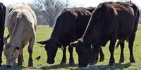 75 Angus, BWF, & Crossbred Cows... E. Central OK