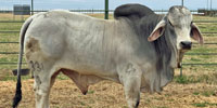1 Reg. Brahman Bull... North TX