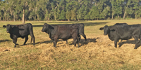 40 Angus/Brangus 1st & 2nd-Calf Heifers w/ 7+ Calves... Northern FL