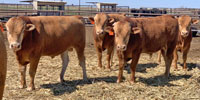 10 Reg. Akaushi Bulls... TX Panhandle