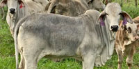 1 Reg. Brahman Rep. Heifer... Southwest LA