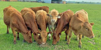 8 Red Angus Bred Heifers... N. Central TX