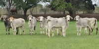 11 Brahman Rep. Heifers... Central TX