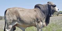3 Reg. Brahman Bulls... N. Central TX