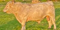 1 Reg. Charolais Bull... S. Central OK