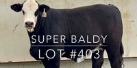 "1 Brangus ""Super Baldy"" Rep. Heifer... Central TX"
