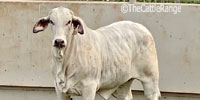 1 Brahman Cross Rep. Heifer... Central TX (2)
