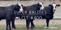 "4 Brangus ""Super Baldies"" Rep. Heifers... Central TX"