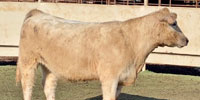 1 Charolais/Maine Anjou Cross 2nd-Calf Cow... Central TX