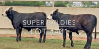 "2 Brangus ""Super Baldies"" Rep. Heifers... Central TX"