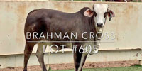 1 Brahman Cross Rep. Heifer... Central TX (1)