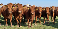 41 Red Angus & RWF Cows... Southwest MO