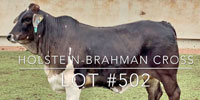 1 Brahman/Holstein Cross Rep. Heifer... Central TX