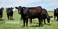 20 F1 Akaushi/Angus Rep. Heifers... North TX ~ AN
