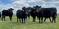 44 Angus & Black Baldy Cows... Southwest MO
