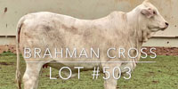 1 Brahman Cross Rep. Heifer... Central TX (4)