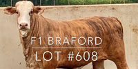 1 F1 Braford/Tigerstripe Rep. Heifer... Central TX (2)