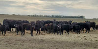 130 Angus & BWF Pairs... E. Central KS
