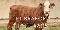 1 F1 Braford/Tigerstripe Rep. Heifer... Central TX