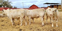 25 Reg. Charolais Bulls... E. Central NM