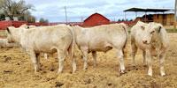 25 Reg. Charolais Bulls... E. Central NM