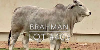 1 Brahman Rep. Heifer... Central TX (1)
