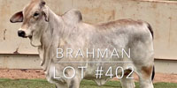 1 Brahman Rep. Heifer... Central TX