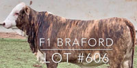 1 F1 Braford/Tigerstripe Rep. Heifer... Central TX (1)