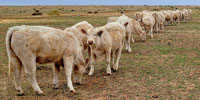 20 Reg. Charolais Rep. Heifers... E. Central NM