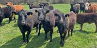 21 Angus & Black Baldy Pairs... Southwest MO
