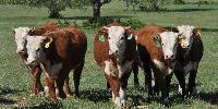 13 Reg. Horned Hereford Rep. Heifers... Central TX