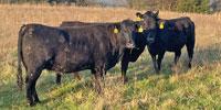 41 Angus & BWF Cows... Southwest MO