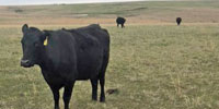 25 Angus 2nd-Calf Pairs... N. Central OK