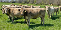 41 Charolais Cross Cows... Southwest MO